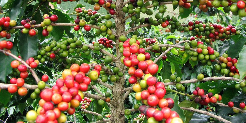 Coffea-arabica.