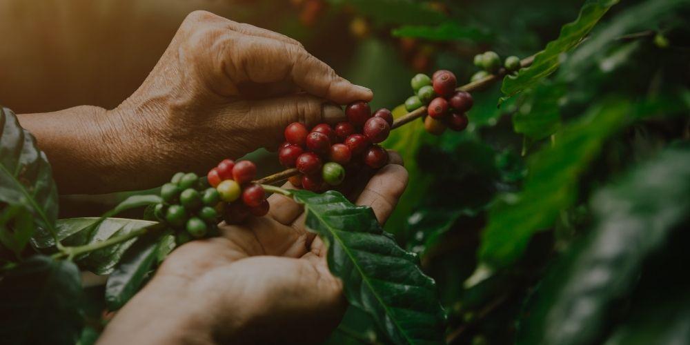 Organic coffee (16)