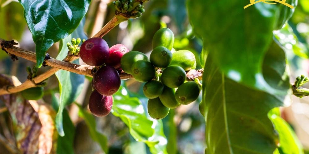 Organic coffee (20)